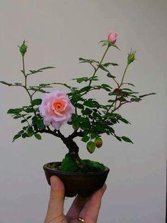 100 Pcs Mini Rose Bonsai Miniature Rose Seeds Little Cute Plants For Miniature Garden Plant Potted Baby Gift Flower Seeds Mame Bonsai, Bonsai Plants, Bonsai Garden, Garden Pots, Bonsai Trees, Air Plants, Cactus Plants, Ikebana, Plantas Bonsai