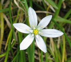 Ornithogalum_umbellatum-Tci.jpg  Star of Bethelehem