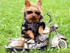Yorkie as biker dog Cute Puppies, Cute Dogs, Dogs And Puppies, Baby Animals, Funny Animals, Cute Animals, Cute Little Dogs, I Love Dogs, Funny Dog Pictures