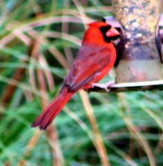 My favorite Cardinal
