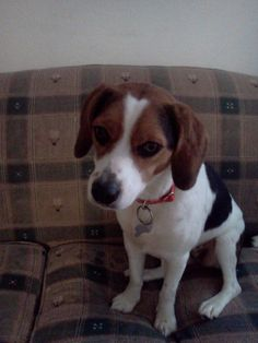 Max the beagle/Aussie Mix was adopted on 12.28.13!!!