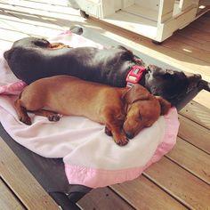 Sunny sausage siesta with a side of sassy. #dachshund #dachshunds #dachshundsofinstagram #wienerdog #wienerdogs #wienerdogsofinstagram #doxie #doxies #doxiesofinstagram #sausagedog #sausagedogs #sausagedogcentral #sausagedogsofinstagram #dog #dogs #doggo #doggos #puppy #puppies #pupper #puppers #seniordog #seniordogs #cute #sisters #adorable #peggyandharriet
