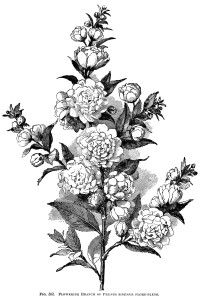 flowering branch engraving, vintage floral illustration, plum tree flower, black and white printable, botanical garden clip art