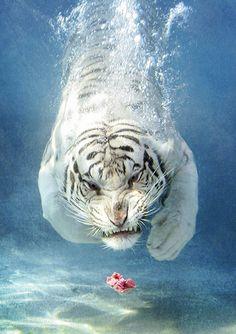 White tiger By Eldad Hagar