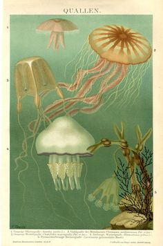 Jellyfishes  Zoological Print  Antique by FrenchOldPapers on Etsy