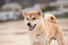 やま一応笑顔 All Types Of Dogs, Cutest Puppy, Cute Puppies, Husky, Corgi, Animals, Corgis, Animales, Animaux
