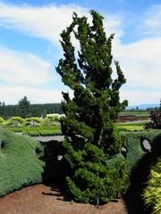 'Spiralis' Hinoki Cypress (chamaecyparis obtusa) available at Lael's Moon Garden (this picture is from another nursery's display garden -ones at the nursery are much smaller)