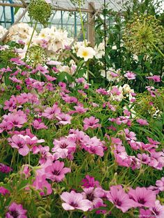 Lag en massiv for 3 ganger ingenting med stauder Wild Flowers, Beautiful Flowers, Garden Online, Permaculture Design, Gardening Zones, Colorful Garden, Geraniums, Dream Garden, Garden Planning