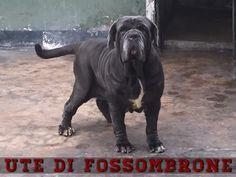 UTE di Fossombrone - Proprietà: Percy Salas Romainville #MastinoNapoletano #NeapolitanMastiff #MatindeNaples #FOSteam