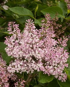 Miss Kim Korean Lilac (Syringa pubescens subsp. patula 'Miss Kim') - Monrovia - Miss Kim Korean Lilac (Syringa pubescens subsp. patula 'Miss Kim') Garden Shrubs, Flowering Shrubs, Trees And Shrubs, Garden Landscaping, Landscaping Design, Summer Plants, Fall Plants, Patio Plants, Monrovia Plants