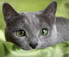The Russian Blue or Archangel Blues -short haired cat breed;coat is light shale blue -black & opaque & has 2 layers of short thick hair;eyes- bright green;paws-pinkish lavender or mauve - Cool Kids Love Nature)