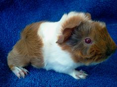 Silky Guinea Pigs | Click on the Picture to enlarge and to see each of their color and ...
