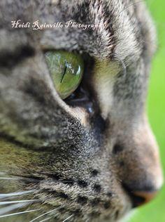 Photograph Brown Gray Tabby Cat Reflection in Eye Macro by heidirainville @ Etsy I Love Cats, Cute Cats, Funny Cats, Soft Kitty Warm Kitty, Here Kitty Kitty, Crazy Cat Lady, Crazy Cats, Creepy Cat, Grey Tabby Cats