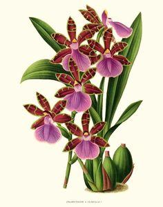 'Zygopetalum x Clayi' giclee print via Charting Nature http://www.chartingnature.com/orchid-print.cfm/Zygopetalum-clayi%20Orchid%20Art%20Print/6570