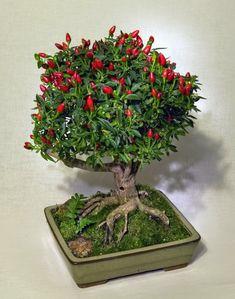 BONSAI CABE Membuat tanaman Bonsai ternyata tidak selalu susah dan lama, mau tau caranya ? mari kita coba pelajari cara membuat ...