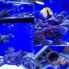 【tsu7007】さんのInstagramをピンしています。 《今日の90㎝水槽! クモウツボ脱走してからこの蛸壺がお気に入りみたい 引きこもり笑 実はこの蛸壺、クモウツボとインドニシキヤッコとウズマキヤッコ3匹一緒に入って寝てるんです笑 面白いね笑 #海水魚 #海水魚水槽 #アクアリウム #イナズマヤッコ#インドニシキヤッコ#クモウツボ #ウズマキヤッコ》