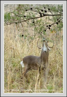 Cades Cove Wildlife | Cades Cove wildlife photo, Smoky Mountains pictures, whitetail deer ...