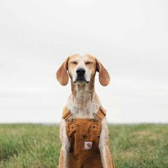 Maddie the coonhound in carhart overalls