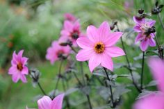 Discover beautiful single-flowered dahlias to grow, perfect for borders, cutting and the wildlife garden, recommended by BBC Gardeners' World Magazine.