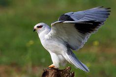 Muy probablemente una de las rapaces diurnas más desconocidas de Europa y de España. Este ave, Elanus caeruleus, a mi entender absolutamente preciosa, con toda la parte inferior de un blanco inmaculado exceptuando las puntas y el dorso de las alas de un color azul-grisáceo me resulta impresionante.