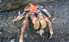 3 of 4: Christmas Island's largest crabs, the robber crabs. These regal creatures can often be see roadside after dusk and will wave a front leg at you if you get too close. To find out the best places to spot them, don't miss the story on our website http://www.suitcasesandstrollers.com/articles/view/family-adventure-holidays-christmas-island-with-kids?l=all #GoogleUs #suitcasesandstrollers #travel #travelwithkids #familytravel #familytraveltips #traveltips #crabs @christmasisland