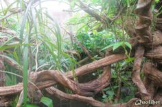 Caiman Tegu (Dracaena guianensis) - Page 3
