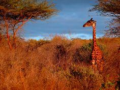 Giraffe Sunset by Chris Halliwell on Chris Halliwell, African Safari, Giraffe, Country Roads, Sunset, Animals, Art, Art Background, Felt Giraffe