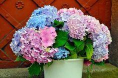 Nielen ruže, ale aj hortenzie si môžete rozmnožiť odrezkami práve v júni… Hydrangea, Floral Wreath, Wreaths, Garden, Decor, Advice, Decoration, Decorating, Door Wreaths