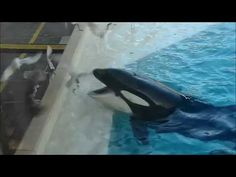 Killer whale using bait to hunt birds #humor #funny #lol #comedy #chiste #fun #chistes #meme
