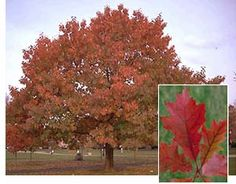 Heidrich's Colorado Tree Farm Nursery LLC is a family owned and operated nursery located in Colorado Springs, CO. Red Oak Leaf, Red Oak Tree, Oak Leaves, Deciduous Trees, Trees And Shrubs, Tree Identification, Farm Nursery, Garden On A Hill, Tree Images