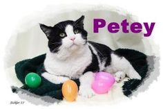 Petey is an adoptable Domestic Short Hair-Black And White Cat in Emporia, KS.  ...