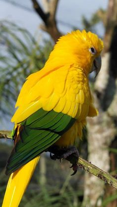 Golden Conure or golden parakeet (Guaruba guarouba). Pretty Birds, Beautiful Birds, Animals Beautiful, Cute Animals, Funny Animals, Tropical Birds, Exotic Birds, Colorful Birds, Exotic Animals