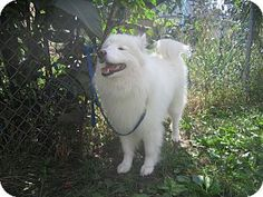 9/26/16 Arlington Heights, IL - Samoyed. Meet Bella, a dog for adoption. http://www.adoptapet.com/pet/16694664-arlington-heights-illinois-samoyed