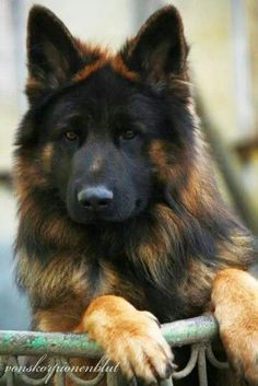 German Shepherd #GermanShepherd