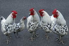 Polka dotted roosters and chicken