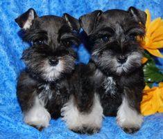 Teacup Schnauzer Puppies