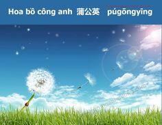 Học từ vựng tiếng Trung qua ảnh về các loài hoa (p2)