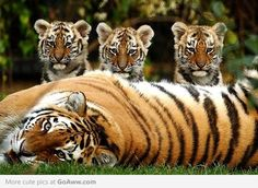 Tiger mom & her cubs
