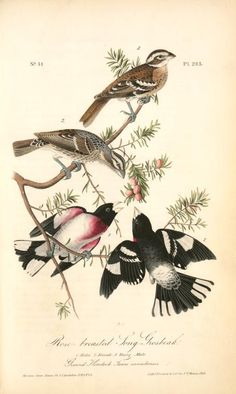 John James Audubon - Rose-breasted Grosbeaks