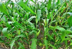 picture of corn field - Beautiful green maize field corn field in Ukraine - JPG