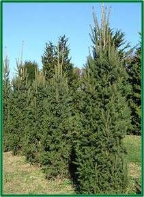Columnar Norway Spruce Picea Abies Cupressina Garden Norway