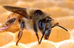 Bee, Honeybee, Honeycomb, Close-Up, Macro, Insect