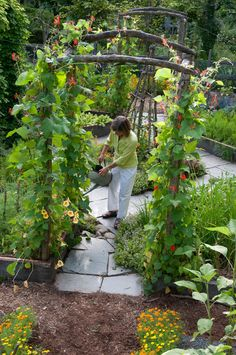 scarlet running beans--great trellis/arbors