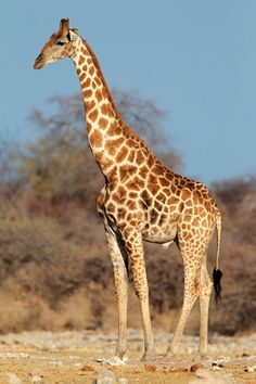 Giraffes have unusually skinny legs for such large animals, but specialized bone structure allows them to support immense weight. Description from livescience.com. I searched for this on bing.com/images