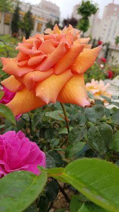 Miss kokulu ELA GÖZLÜM e :) Rose, Flowers, Plants, Pink, Plant, Roses, Royal Icing Flowers, Flower, Florals