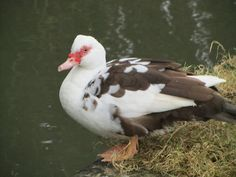 UK - Hertfordshire - Great Amwell - Muscovy Duck by JulesFoto, via Flickr  Muscovy hen