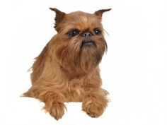 Brussels Griffon puppies for sale! Get matched with a pupper from a responsible Brussels Griffon breeder near you. Brussels Griffon Puppies, Griffon Dog, Pets For Sale, Puppies For Sale, Small Dog Breeds, Small Dogs, Cheap Puppies, Best Apartment Dogs, High Quality Dog Food