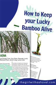 Check out these care pages for lucky bamboo! Here's EXACTLY what you need to know to successfully keep this houseplant alive! Bamboo Plant Care, Lucky Bamboo Plants, House Plants Decor, Plant Decor, Dragon Tree, Corn Plant, Apartment Plants, Best Indoor Plants, Low Lights