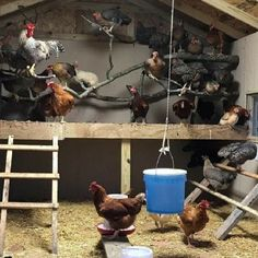 Summary: At the onset of building chicken coops, one must lay out chicken coop blueprints. The chicken coop designs should cater to all the aspects vital for chicken farming. Bad Chicken, Chicken Roost, Chicken Pen, Chicken Coup, Chicken Garden, Chicken Life, Backyard Chicken Coops, Chickens Backyard, Chicken Houses