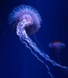 pdpete:    An Electric Jellyfish submitted by psYberspRe4Dd.